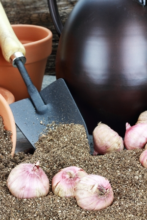 Flower corms or bulbs in potting soil with wateringcans, flower pots, and trowel.  photo