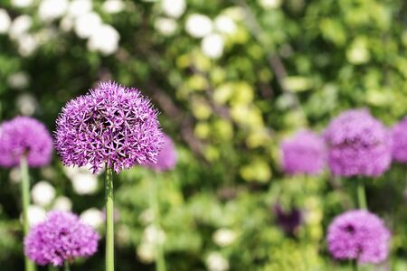 Garden of flowering Allium with selective focus on Alium in foreground.  photo