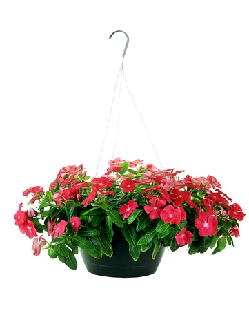 Hanging Basket with Impatiens flowers isolated over a white background with clipping path included.