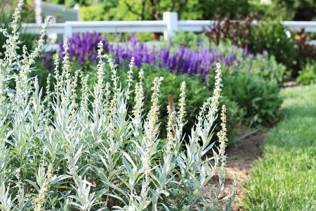 Lamb's Ear bloemen, Stachys byzantina, in een prachtige kruidentuin. Deze planten krijgen hun gemeenschappelijke naam van hun zachte, pluizige bladeren en stengels. Stockfoto - 13797917