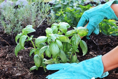 A gardeners gloved hand planting Basil with a small trowel in a herb garden with rich composted soil.