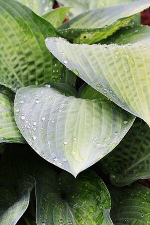 upclose: Abstract of Hostas wet from a morning shower.  Stock Photo