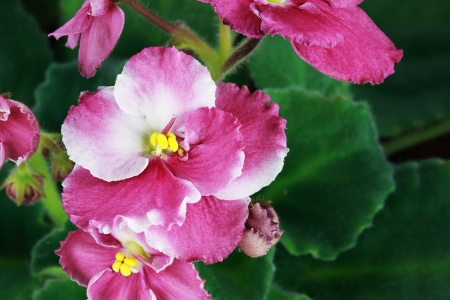 Above view of a pretty pink and white African Violet   photo