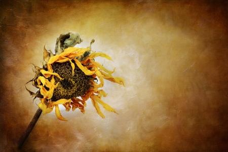 flores secas: Girasol seco con efecto pict�rico Foto de archivo