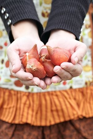 Gardeners hands holding tulip flower bulbs before planting. Stock Photo