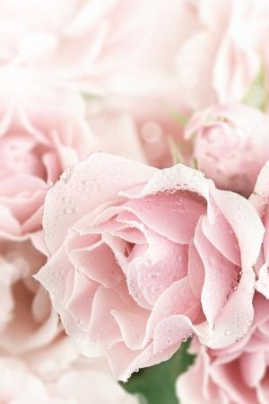 Close up of a beautiful pink tea rose  Shallow depth of field
