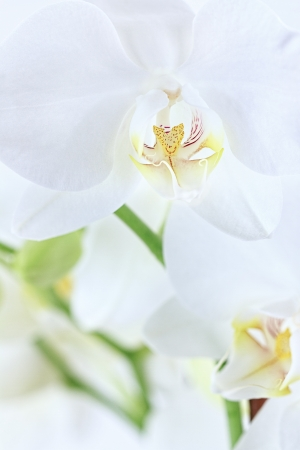 Macro of beautiful white orchids with extreme shallow depth of field.