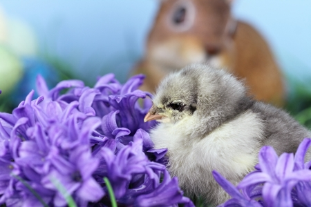 nobody real: Little Blue Cohin chick in the middle of spring flowers. Extreme shallow depth of field with some blur and selective focus on chick.