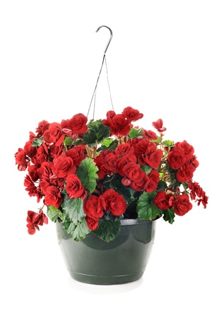 Hanging Basket with Begonias flowers isolated over a white background.  Imagens