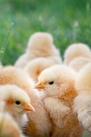 Little Buff Orpington chicks sitting huddled together in the grass