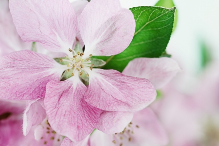 crab apple tree: Beautiful close up of pink crab apple tree blossoms with shallow depth of field  Stock Photo