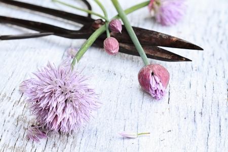 antique scissors: Erba cipollina organici appena tagliato sdraiata su un fondo in legno con le forbici antichi. Archivio Fotografico