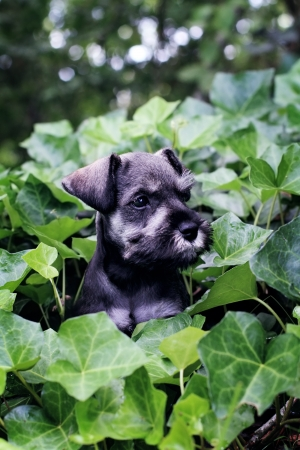 Six week old salt and pepper Mini Schnauzer playting in a bed of ivy. Extreme shallow depth of field with selective focus on puppies face. photo