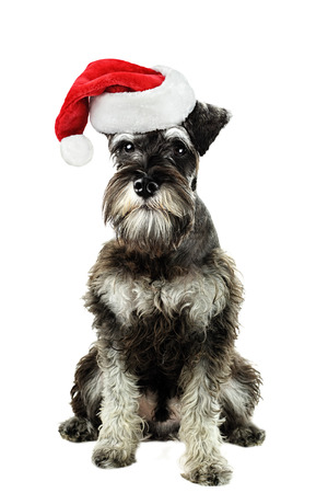 minature: A six month old salt and pepper minature schnauzer isolated against a white background wearing a Christmas hat  Stock Photo