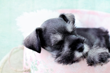 Six week old salt and pepper Mini Schnauzer falling asleep inside of a pink hat box  photo