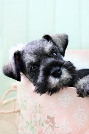 innocense: Six week old salt and pepper Mini Schnauzer falling asleep inside of a pink hat box