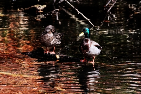 Beautiful pair of mallards grooming themselves on a log with autumn reflecting in the pond. photo