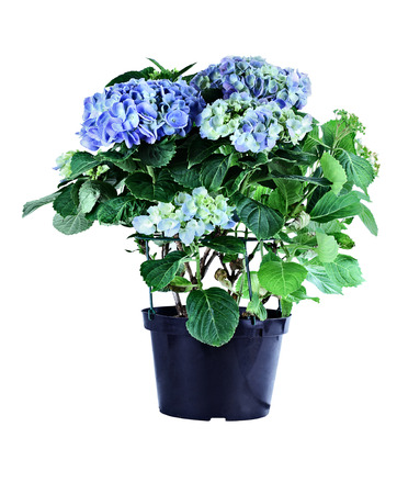 Blue potted Hydrangea isolated over a white background with clipping path. Zdjęcie Seryjne