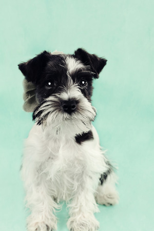 Twelve week old parti-colored Mini Schnauzer against a blue background  Extreme shallow depth of field with selective focus on puppies eyes  photo