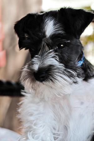 shallow focus: Parti-colored Mini Schnauzer  Extreme shallow depth of field with selective focus on puppies face  Stock Photo