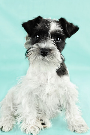 pure breed: Twelve week old parti-colored Mini Schnauzer against a blue background  Extreme shallow depth of field with selective focus on puppies eyes