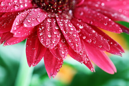 Red gerbera daisy macro with water droplets on the petals.