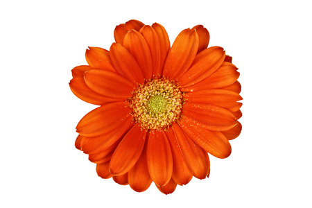 Isolated gerber daisy macro over white with clipping path included  photo