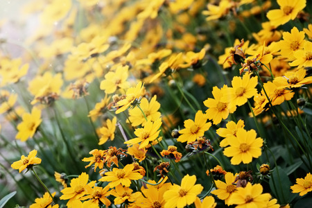 tickseed: Beautiful Coreopsis  Tickseed  with extreme shallow depth of field and selective focus