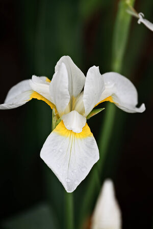 Siberian Iris with extreme shallow depth of field