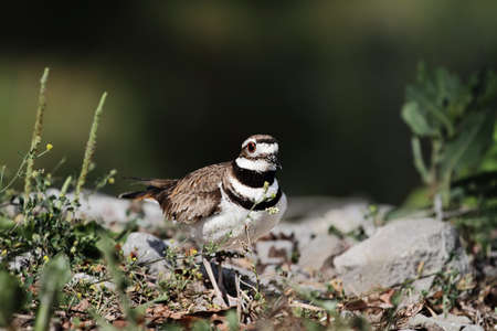 aciculum: Killdeer with extreme shallow depth of field.