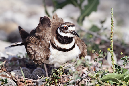 aciculum: Killdeer guarding her nest. Stock Photo