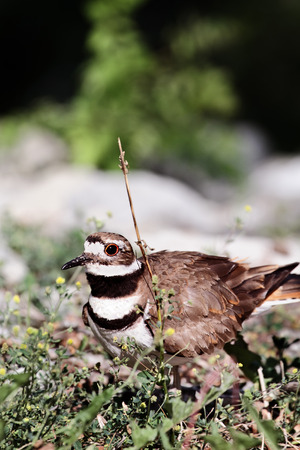 aciculum: Killdeer guarding her nest. Stock Photo