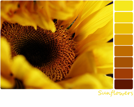 Macro of a sunflower with a color palette of complimentary color swatches. Selective focus on center of flower with extreme shallow depth of field. Stock Photo