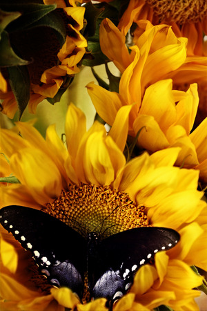 Clouded sulphur butterfly feeding from beautiful sunflowers. photo