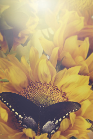 Retro image of a Clouded sulphur butterfly feeding from beautiful sunflowers. photo