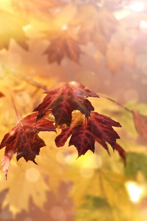 Defocused Maple leaves in the autumn sun lights with copy space. Extreme shallow depth of field. photo