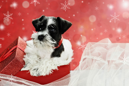 Cute little black and white Mini Schnauzer puppy peeping out of a beautiful red festive Christmas present. Extreme shallow depth of field with selective focus on puppies face. photo