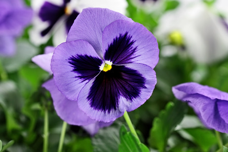 johny: Purple Pansies with extreme shallow depth of field.