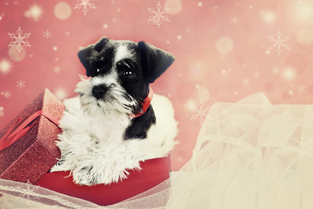 cute puppy: Retro image of a cute little black and white Mini Schnauzer puppy peeping out of a beautiful red festive Christmas present.