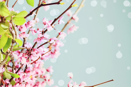 redbud: Delicate Redbud Blossoms against a blue background. Extreme shallow depth of field.