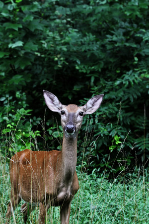 doe: Young female doe standing in weeds with extreme shallow depth of field. Stock Photo