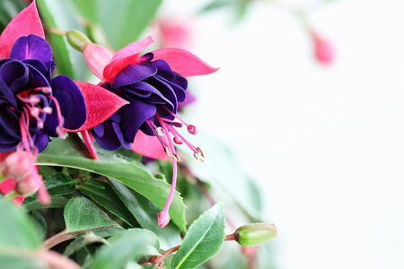 fuschias: Close up of a beautiful Fuchsia plant with copy space. Selective focus with extreme shallow depth of field.