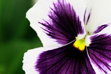 johny: Macro of purple and white pansy. Selective focus on center of flower with extreme shallow depth of field.