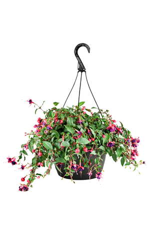 fuschias: Hanging pot of a Fuchsia plant with clipping path. Stock Photo