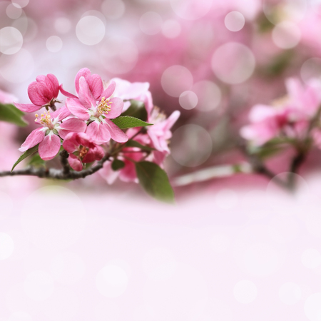 crab apple tree: Beautiful spring pink tree blossoms with available copy space.