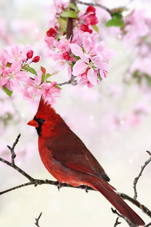avian: Beautiful red Cardinal sitting amid spring pink tree blossoms.