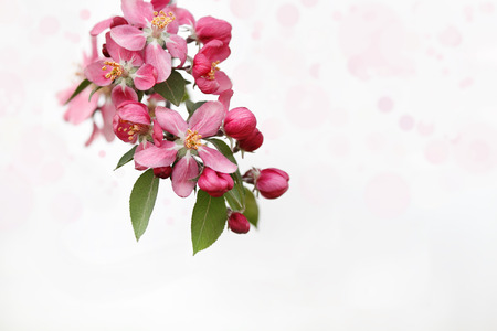 crab apple tree: Cluster of Crab Apple Blossoms against a light background. Extreme shallow depth of field. Stock Photo