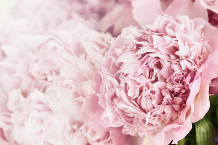 Beautiful toned pink peonies in the sunlight. Extremely shallow depth of field with selective focus on flower in foreground. Banque d'images