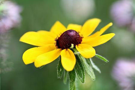 hirta: Black Eyed Susan with an extreme shallow depth of field. Stock Photo