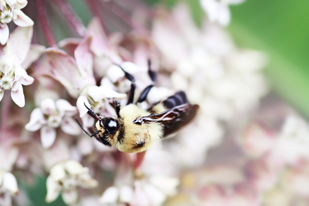 Macro of a bumble bee feeding from the blossoms of a milkweed plant.  Extreme shallow depth of field.